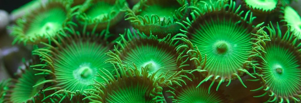 A photograph of parazooanthids under actinic lighting.